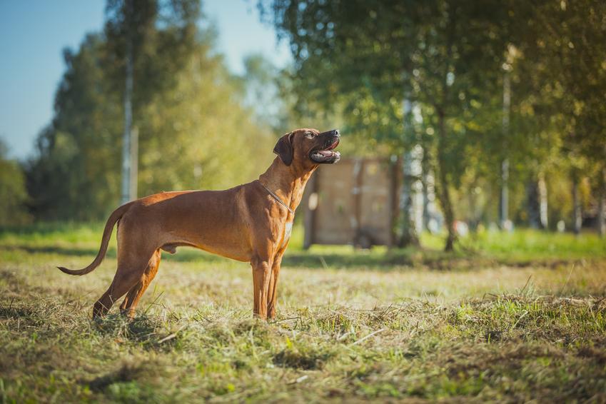 Pies rasy rhodesian ridgeback podczas spaceru w parku, a także jego charakter, opis i cena