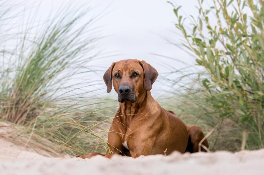 Pies rasy rhodesian ridgeback nad morzem, a także jego charakter, hodowla i cena