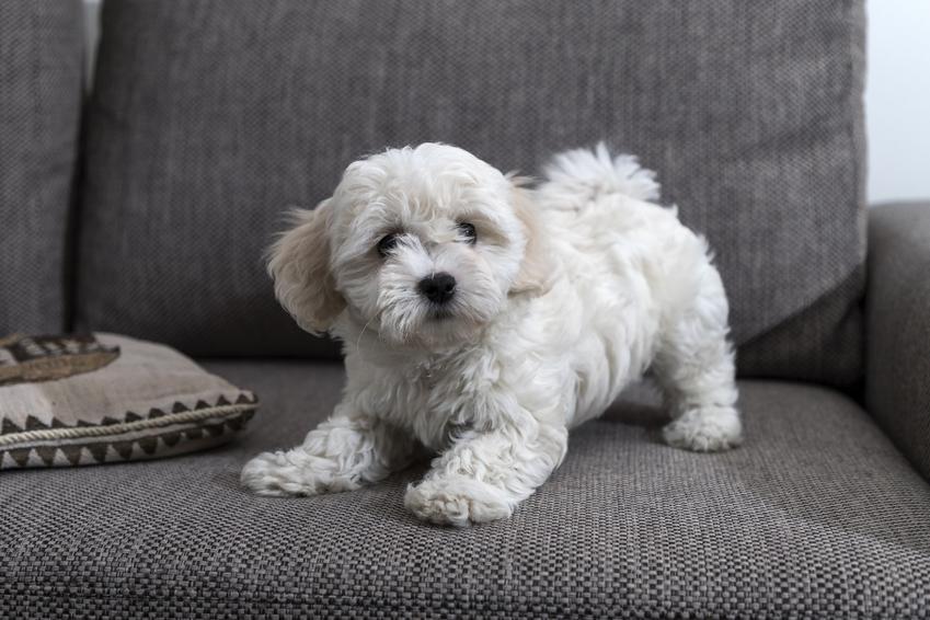 Pies rasy bolończyk siedzący na kanapie, a także bolończyk a maltańczyk, podobieństwa i różnice