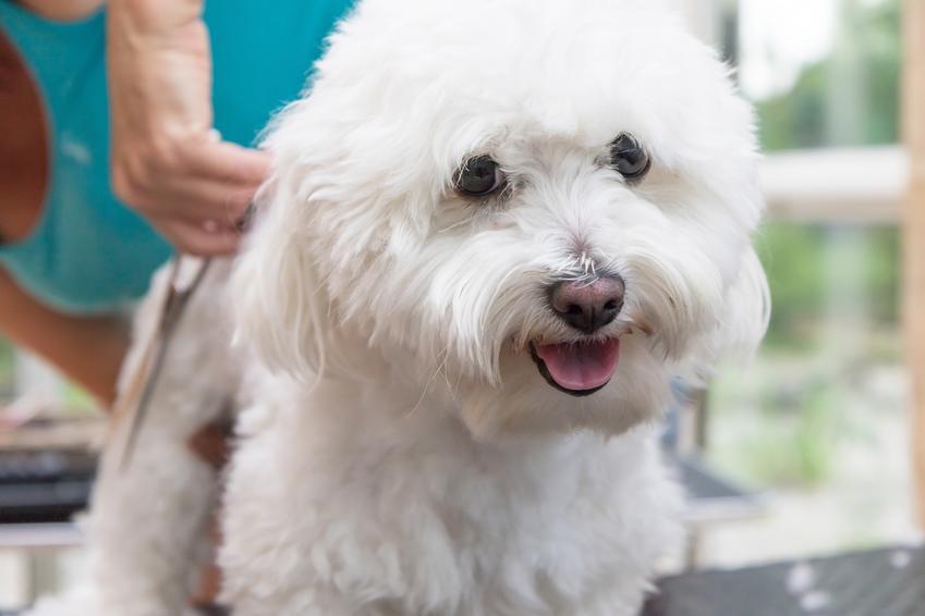 Pies rasy bolończyk podczas spaceru, a także cena bolończyka i charakter
