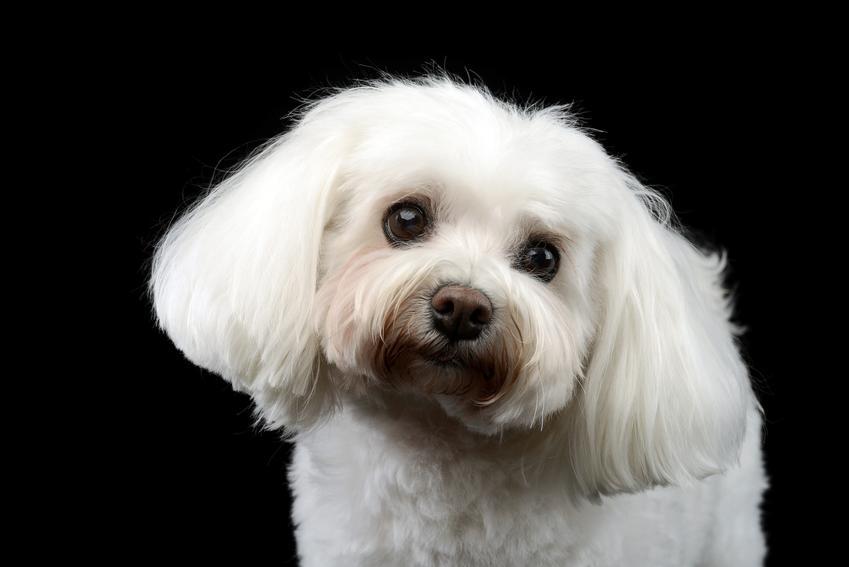 Pies rasy bolończyk na czarnym tle, a także hodowla i cena bolończyka za szczeniaki