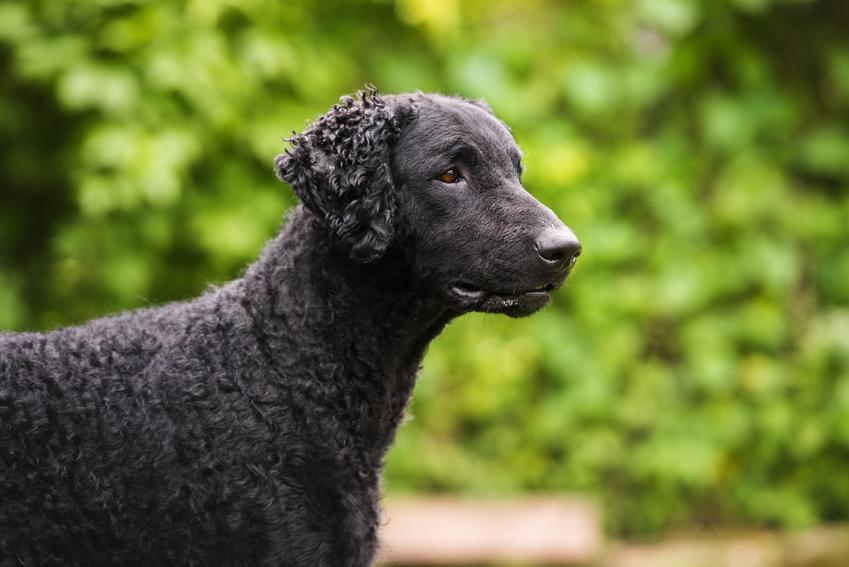 Czarny pies rasy curly coated retriever na tle zieleni, a także jego charakter i hodowla