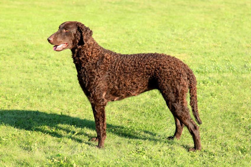 Brązowy pies rasy curly coated retriever stojący na trawniku, a także jego hodowla i cena