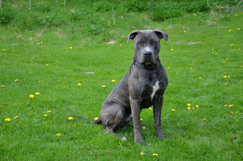Pies rasy dog kanaryjski siedzący na trawniku, a także cena doga kanaryjskiego i charakter