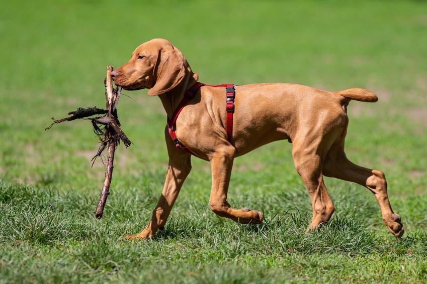 Pies rasy ogar polski podczas spaceru, a także jego opis, charakter i cena