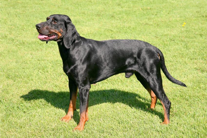 Pies rasy ogar polski stojący na trawie, a także jego usposobienie i wychowanie