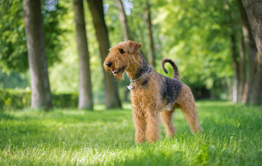 Pies rasy airedale terrier podczas spaceru w parku, a także jego charakter, cena i hodowla