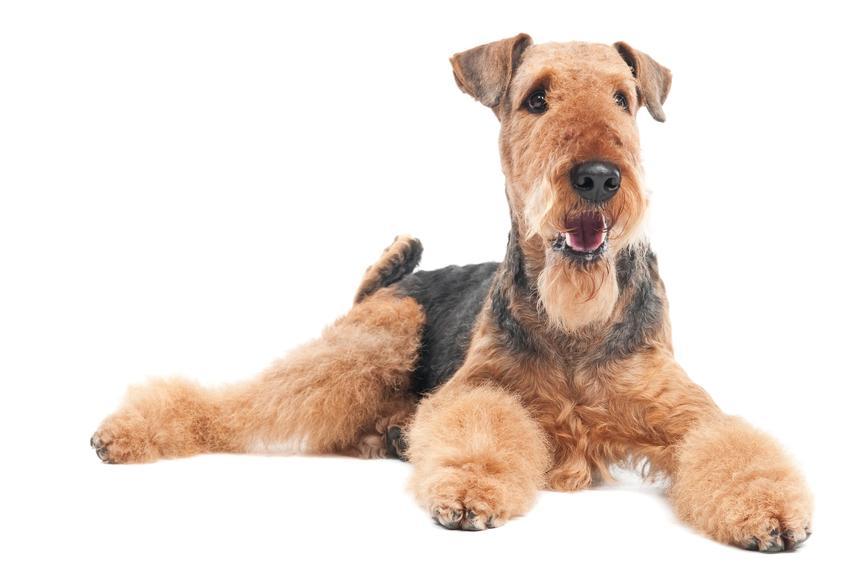 Pies rasy airedale terrier na białym tle, a także opis rasy, charakter i cena