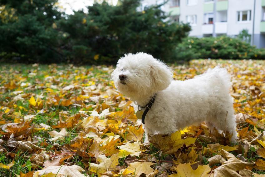 Pies rasy bolończyk podczas spaceru w liściach, a także jego opis, cena i charakter