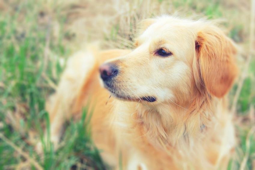 Pies na trawniku, a także ile trwa ciąża urojona u psa i jakie daje objawy