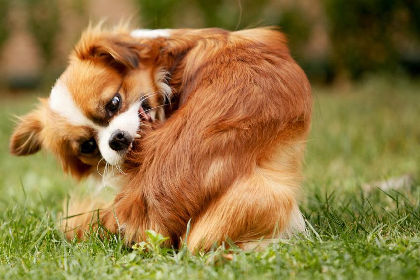 Pies gryzący się na trawniku, czyli świąd, łupież u psa i porady lecznicze