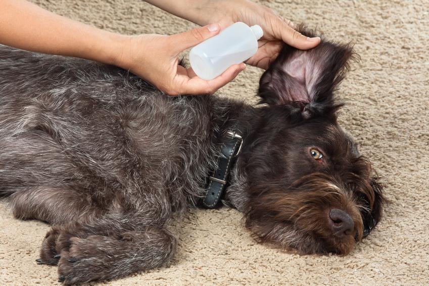 Pies podczas aplikacji kropli do ucha, a także zapalenie ucha u psa, objawy i leczenie