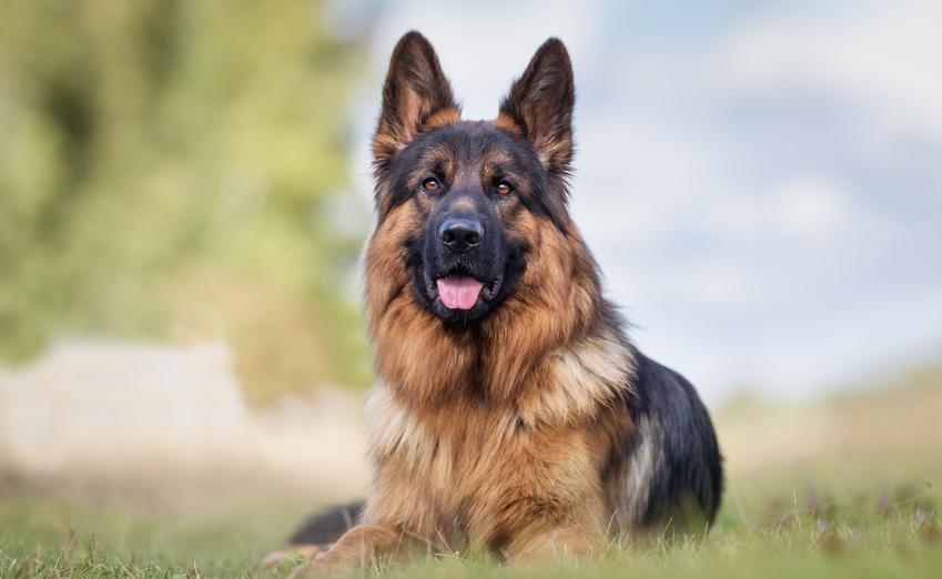 Owczarek niemiecki siedzący na trawie, a także inne niemieckie rasy psów