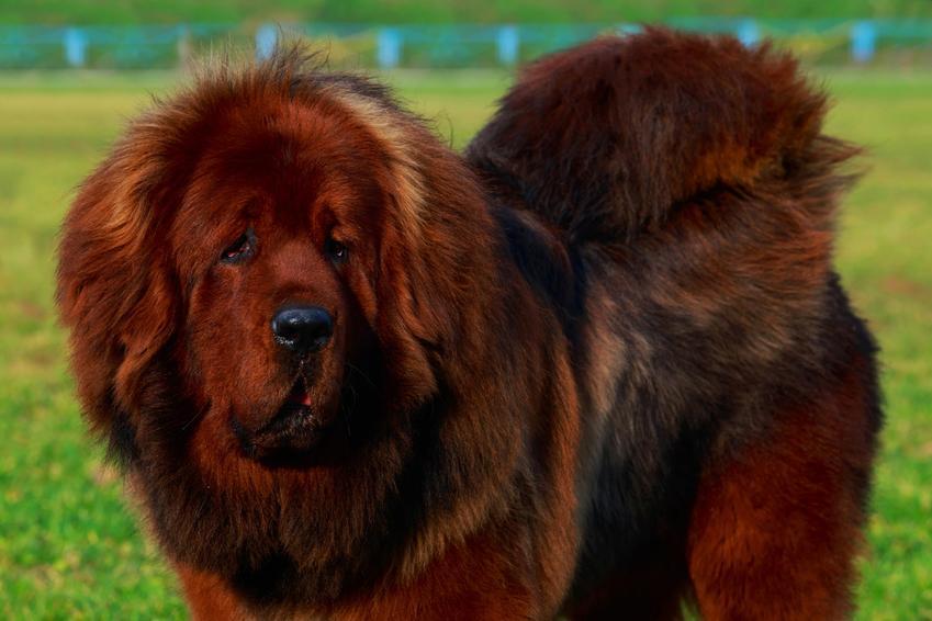 Pies rast owczarek tybetański, a także owczarek berneński i inne nieprawidłowe nazwy ras psów