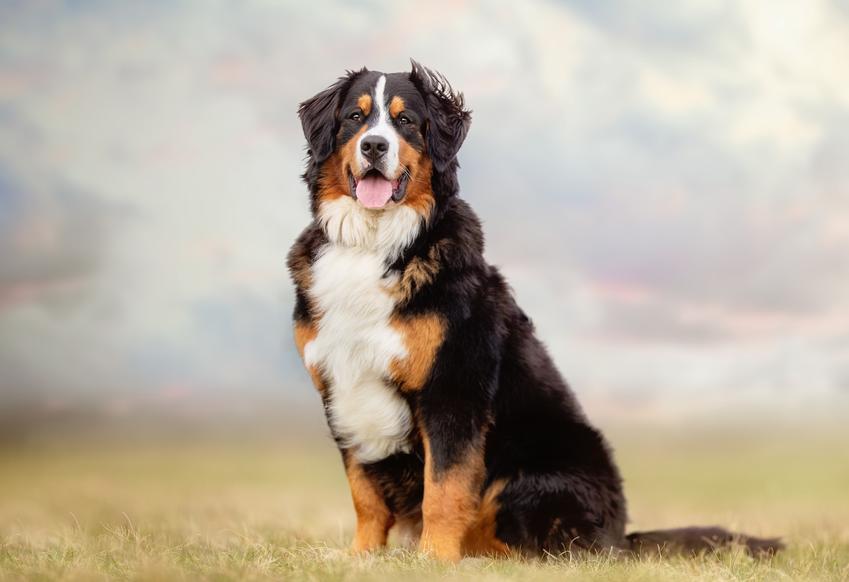Pies rasy berneńczyk na tle natury, a także jego charakter, cena i hodowla