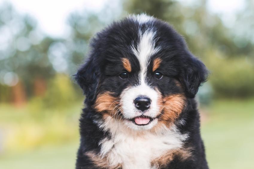 Szczeniak psa rasy berneńczyk na tle zieleni, a także jego charkter i cena