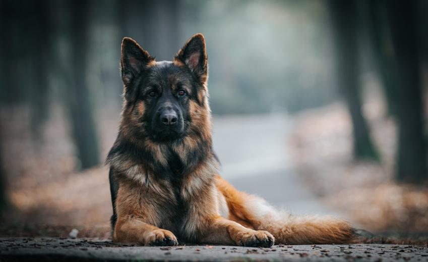 Pies rasy owczarek alzacki siedzący w lesie, a także jego charakter, usposobienie i hodowla