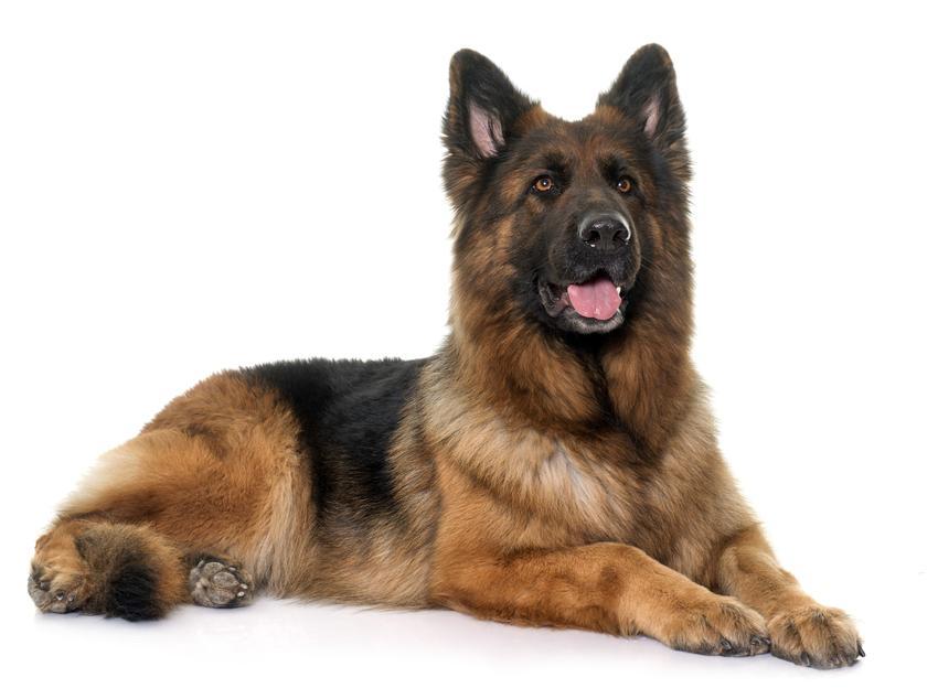 Pies rasy owczarek alzacki siedzący na białym tle,a także jego usposobienie, cena, hodowla i opinie