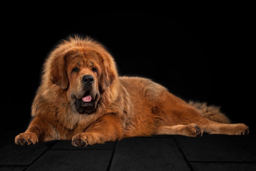 Pies rasy owczarek tybetański lub mastif na czarnym tle,a także jego usposobienie, cena, hodowla i opinie