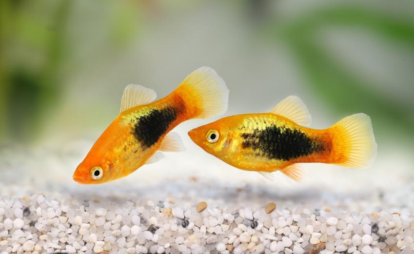 Ryby zmienniak wielobarwny, Xiphophorus variatus w akwarium, a także ich wymagania i temperatura