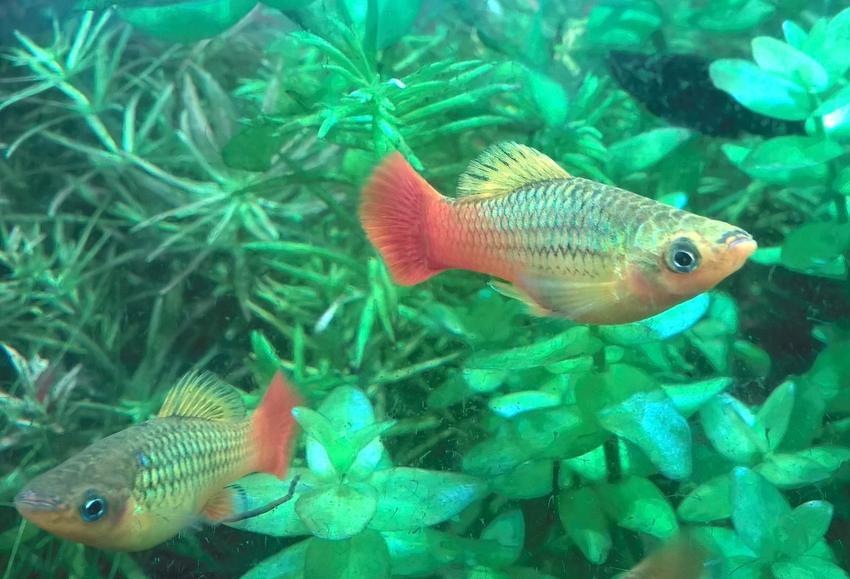Rybk akwariowa zmienniak wielobarwny, Xiphophorus variatus, a także jej hodowla i wymagania