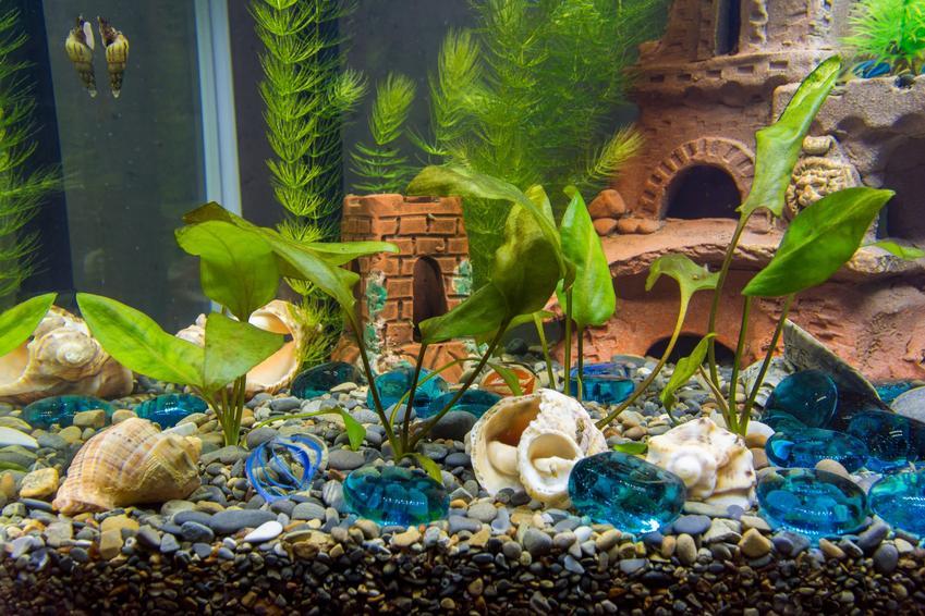 Ślimaki i muszle w akwarium, a także ślimak helmet, jego rozmnażanie i wymagania