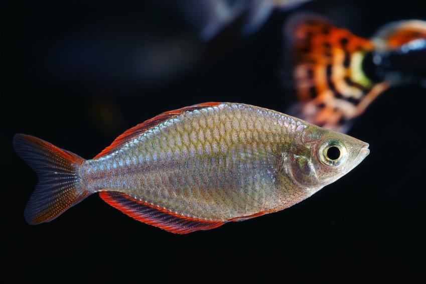 Ryba akwariowa tęczanka neonowa, Melanotaenia praecox na czarnym tle, a także jej wymagania i hodowla