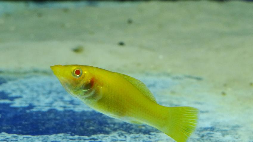 Chora ryba molinezja żaglopłetwa w akwarium oraz jej wymagania i rozmnażanie