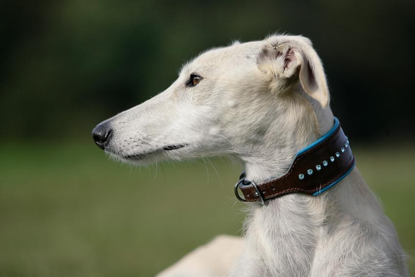 Pies rasy chart hiszpański na portrecie na tle zieleni, a także cena, hodowla i wychowanie