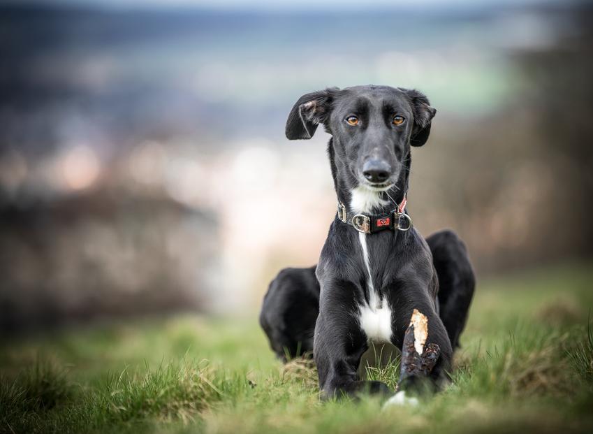 Pies rasy chart lurcher na zdjęciu portretowym na tle zieleni, a także jego charakter i hodowla