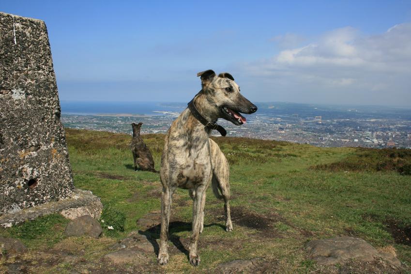 Pies rasy chart lurcher na tle zieleni podczas spaceru oraz jego wychowanie, opis i cena