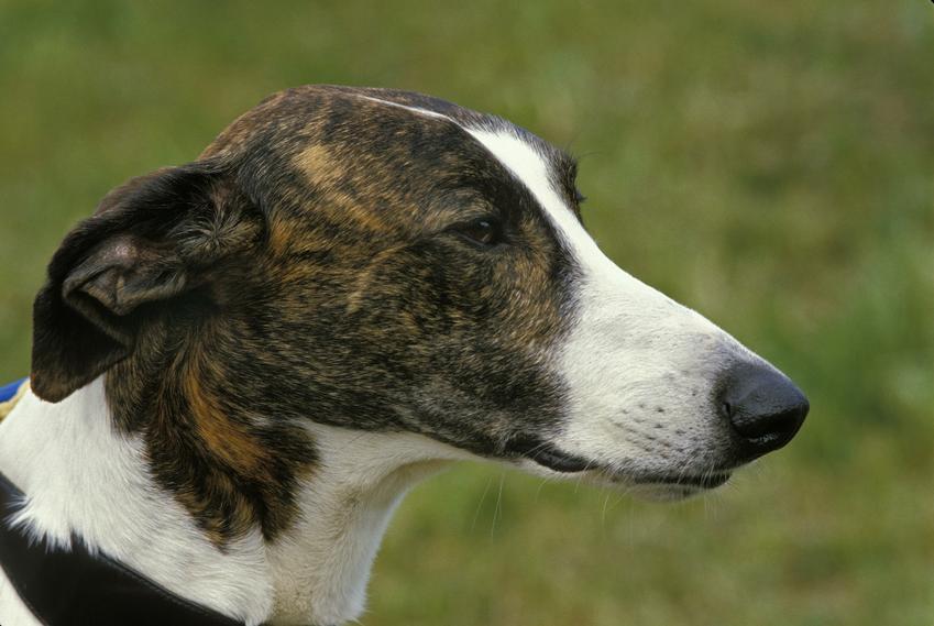 Pies rasy chart węgierski na portrecie na tle zieleni, a także jego opis, charakter i cena