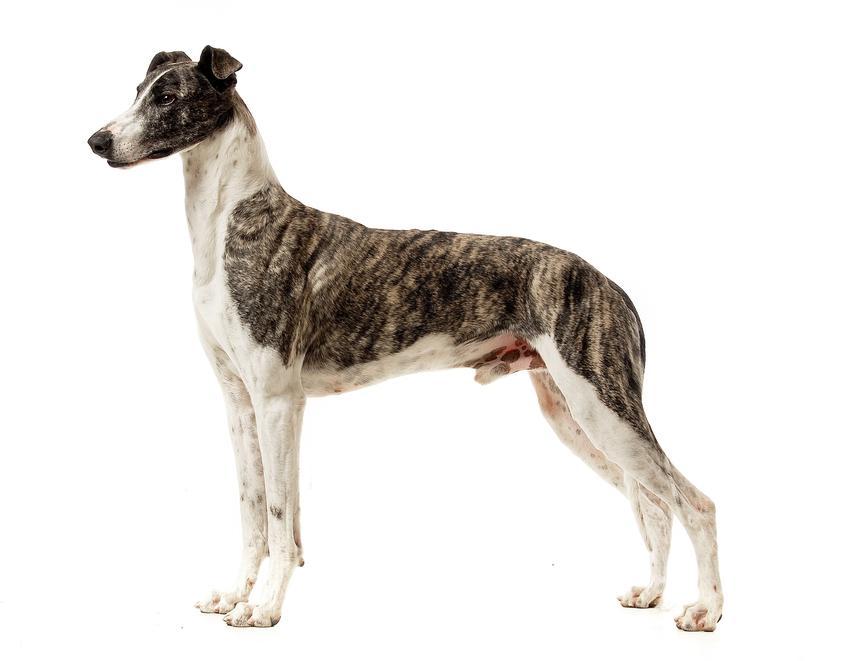 Pies rasy chart węgierski na białym tle, a take jego usposobienie, cena i hodowla w Polsce