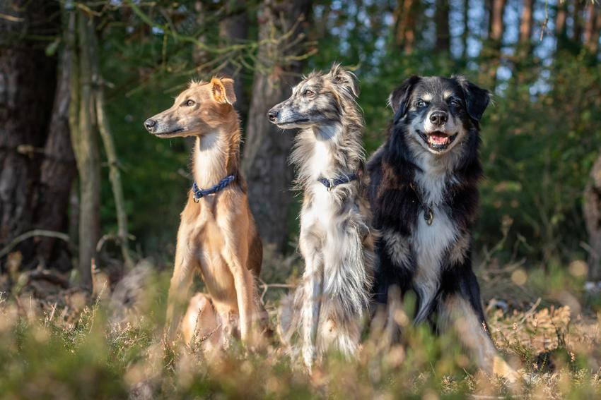Psy rasy chart podczas spaceru w lesie, a także charty do adopcji i ogłoszenia