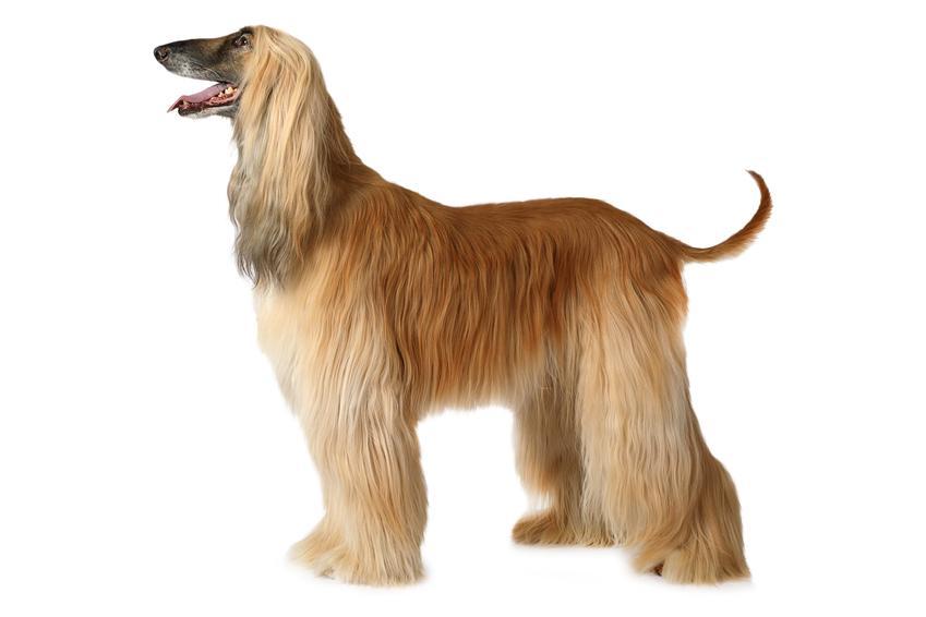 Pies rasy chart afgański na białym tle z profilu, a także jego charakter i hodowla w Polsce