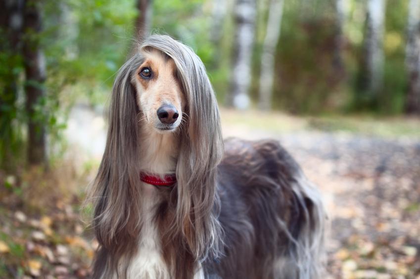 Pies rasy chart afgański długowłosy podczas spaceru w lesie, a także jego charakter i cena