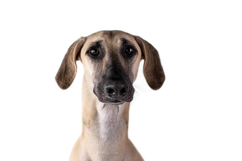 Pies rasy chart polski na portrecie na białym tle, a także jego wychowanie i hodowla