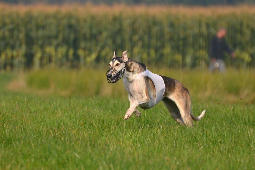 Pies rasy chart polski podczas szkolenia na trawie, a także jego charakter, hodowla i cena