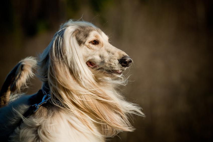 Pies rasy chart afgański na tle natury, a także cena charta afgańskiego i szczeniaki