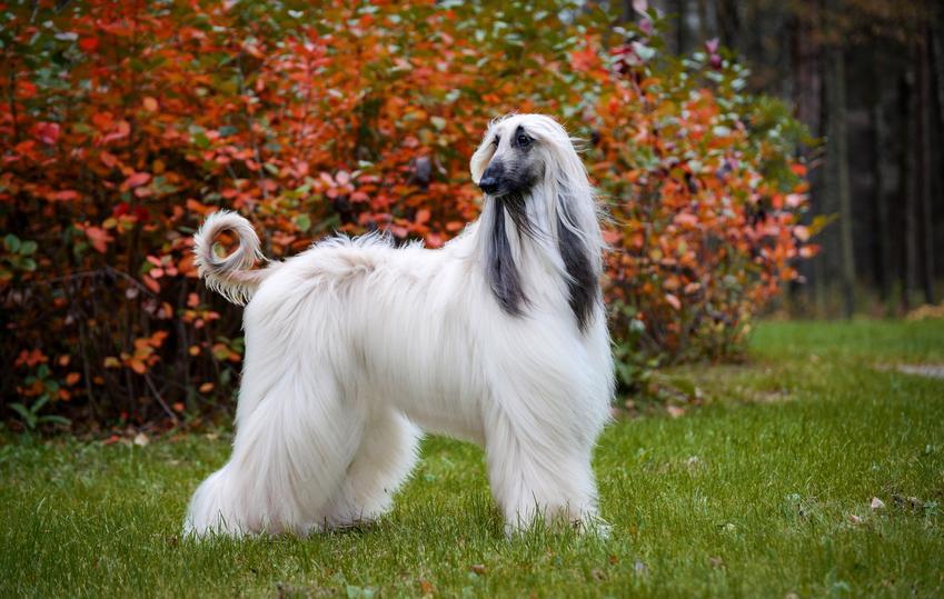 Pies rasy chart afgański długowłosy podczas spaceru, a także cena charta afgańskiego i szczeniaki