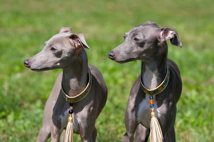 Dwa małe psy rasy charcik włoski na trawniku, a także cena charcika włoskiego i hodowla