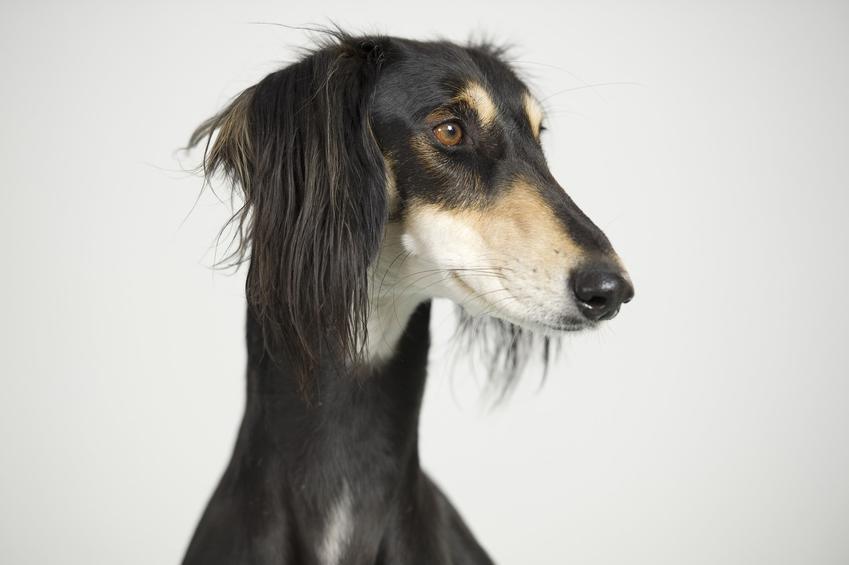 Pies rasy chart perski na białym tle, a także jego charakter, hodowla i wychowanie