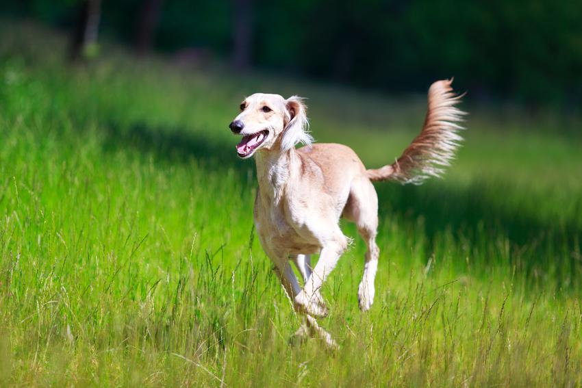 Pies rasy chart perski biegający po trawie oraz jego hodowla w Polsce, cena i opis