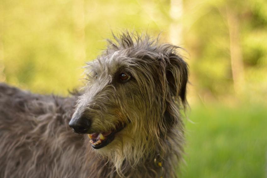 Pies rasy chart szkocki na tle zieleni, a także jego charakter, hodowla i wychowanie