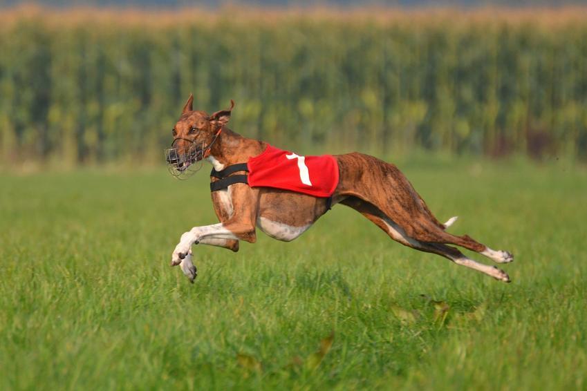Pies rasy chart afrykański biegający po trawie oraz jego hodowla w Polsce, cena i opis