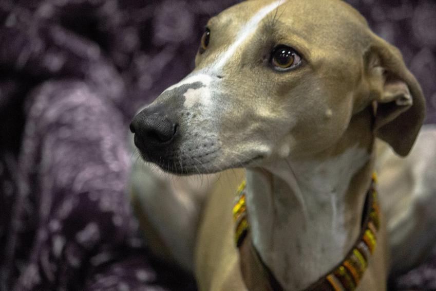 Pies rasy chart afrykańskina podczas spaceru, a także jego charakter, hodowla i wychowanie