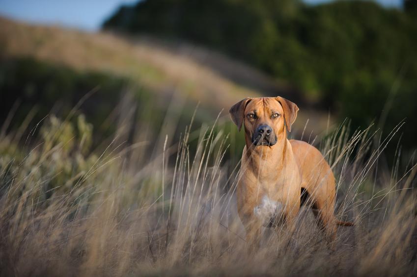 Pies rasy rhodesian ridgeback lub pies rodezjan podczas spaceru, a także jego charakter, hodowla i cena
