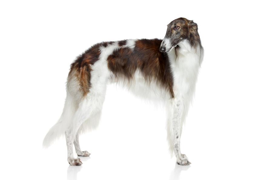 Pies rasy chart rosyjski borzoj na białym tle oraz jego hodowla w Polsce, cena i opis