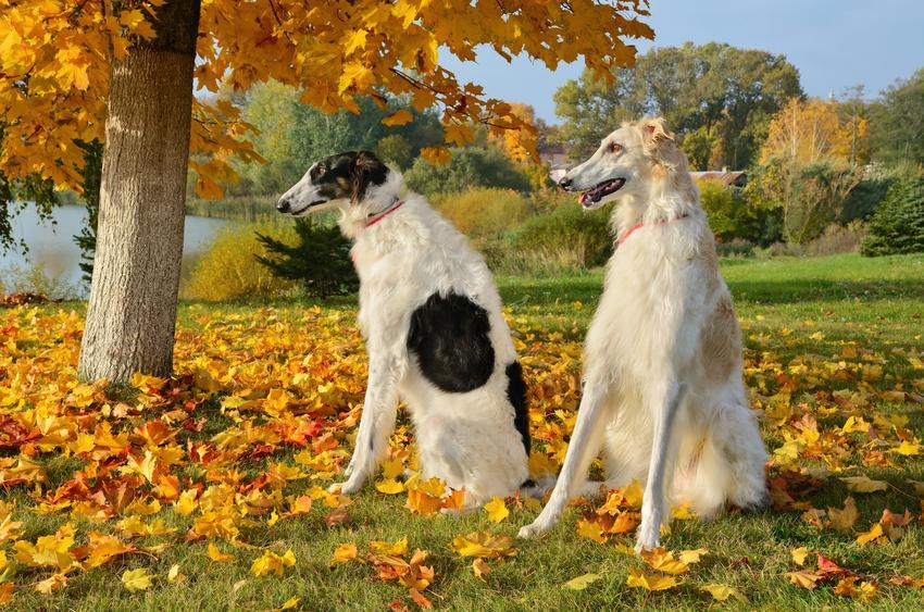 Dwa psy rasy borzoj na tle jesiennych drzew, a także chart rosyjski i jego charakter