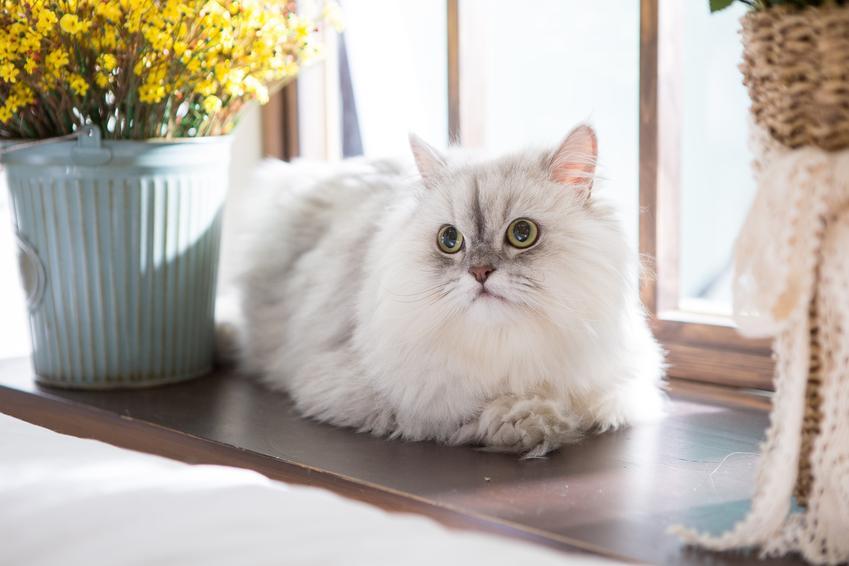 Kot perski siedzący na parapecie, a także charakter kota perskiego o opis